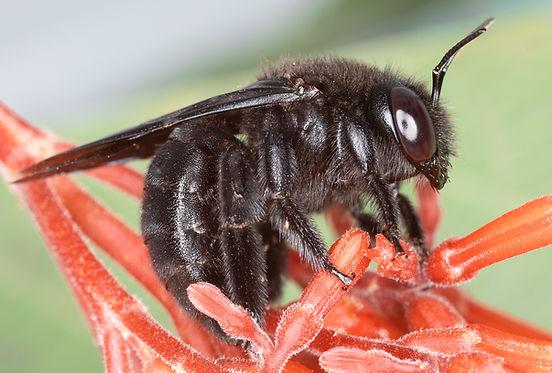 Xylocopa strandi - Strand's Carpenter Bee - (c) Copyright 2018 Paula shrp