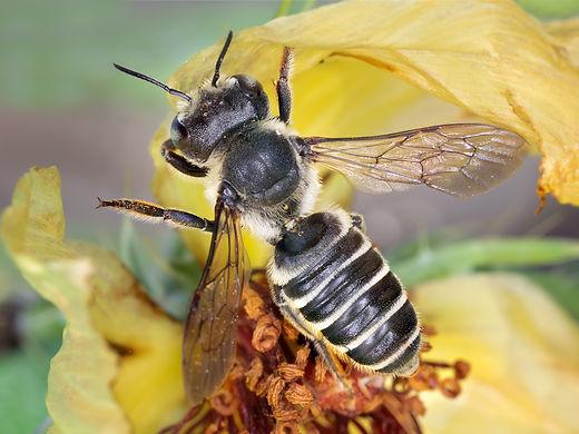 JPEG-4-Megachile-montivaga-F-in-flight-#