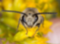 Compact Cellophane Bee - Colletes compactus - (c) Copyright 2016 Sharp-Eatman Photo