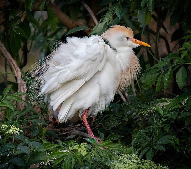 Cattle Egret - Copyright (c) 2018 Paula Sharp.
