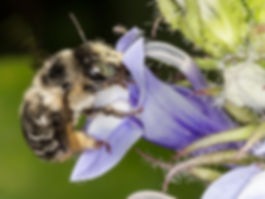 Anthophora terminalis Digger Bee on Great Blue Lobelia - (c) Copyright 2016 Sharp-Eatman Photo