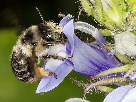 Anthophora terminalis Digger Bee on Great Blue Lobelia - (c) Copyright 2016 Sharp-Eatman Photo