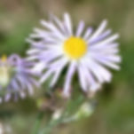 WJPEG-Plant-Fleabane-Purple-NBC-#109-293