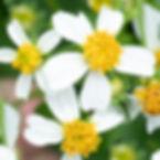 WJPEG-Plants-Bidens-Alba-NBC-#295-Spanis