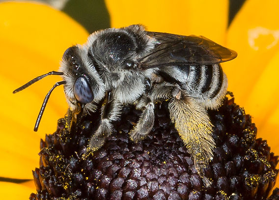 True Long-horned Bee - Melissodes (Eumelissodes) subillata - (c) Copyright 2015 Sharp-Eatman Photo