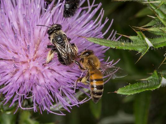 Honey bee robbing nectar from thistle long-horned bee (Melissodes desponsa)