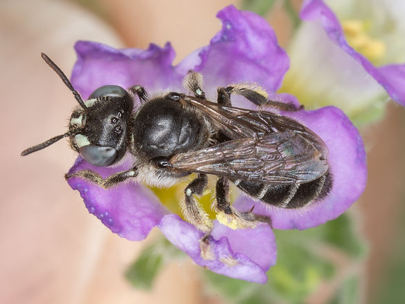 WJPEG-Calliopsis-NBC-#356-Nama-hispidum-