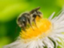 Osmia georgica mason bee (c) Copyright 2016 Sharp-Eatman Photo