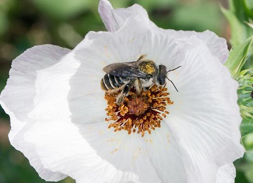 Female Lithurgopsis littoralis cactus wood-brer bee - (c) Copyright 2019 Paula Sharp