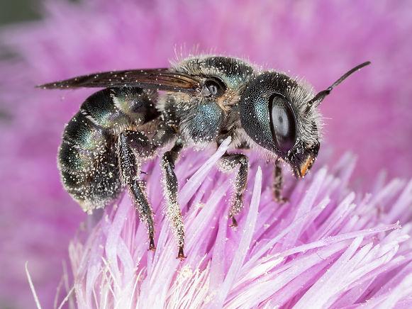 A female steel-blue mason bee; Osmia chalybea; Copyright 2021 Paula Sharp