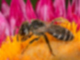 Ligated Sweat Bee - Halictus ligatus - (c) Copyright 2016 Sharp-Eatman Photo