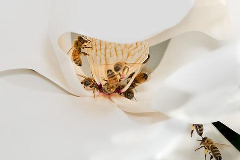 Honey bees pollinating a magnolia; (c) Copyright 2018 Paula Sharp