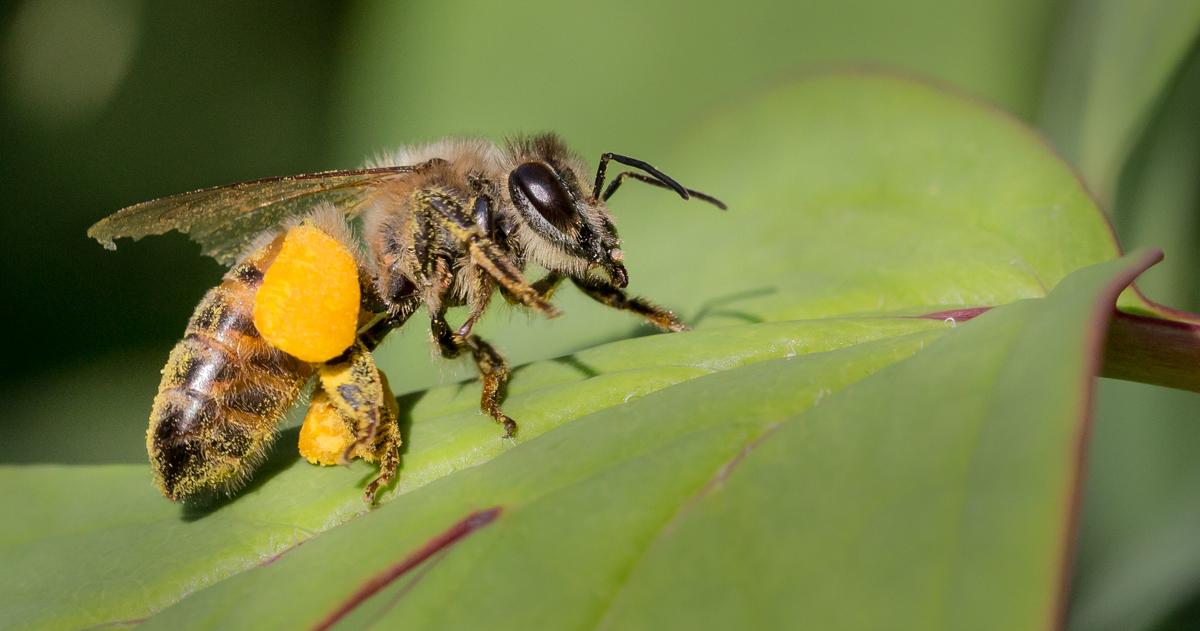 JPEG-Honey-Bee-on-Tree-Peony-Leaf_47A252