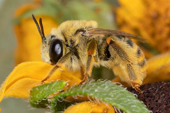 Tetraloniella wilmatte long-horned bee - (c) Copyright 2019 Paula Sharp