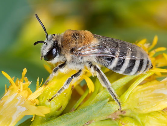 Colletes birkmanni cellophane bee - (c) Copyright 019 Paula Sharp