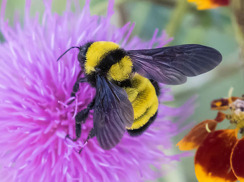 A Sonoran bumble bee (Bombus sonorus) - Photo Copyright 2018 Greg Lasley