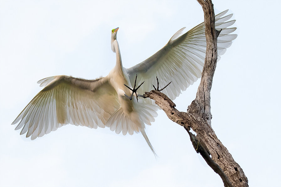 Great Egret, St. Augustine Florida