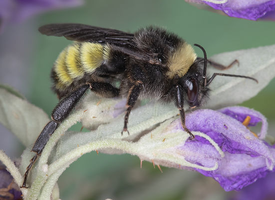 Bombus pensylvanicus America Bumblebee; (c) Copyright 2019 Paula Sharp