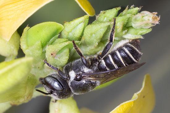 Megachile exilis (female) - (c) 2018 Paula Sharp