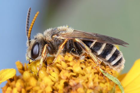 Halictus ligatus Sweat Bee - (c) 2019 Paula Sharp