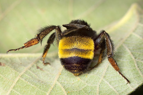 American bumble bee - Bombus pensylvanicus - (c) Copyright 2018 Paula Sharp