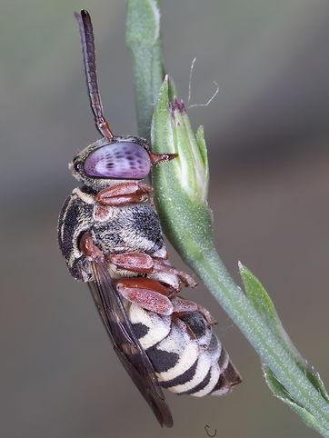 Epeolus pusillus cuckoo bee - (c) Copyright 2018 Paula Sharp