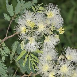 WJPEG-Flora-Tenaza-NBC-#293-Havardia-pal