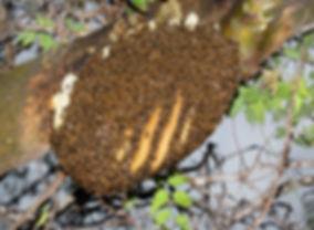WJPEG-Honey-Bee-hive-in-tree-NBC-#63-Col