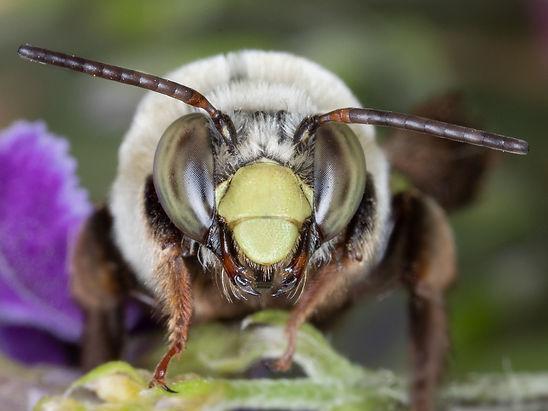 Centris atripes black-footed digger bee - (c) 2019 Paula Sharp