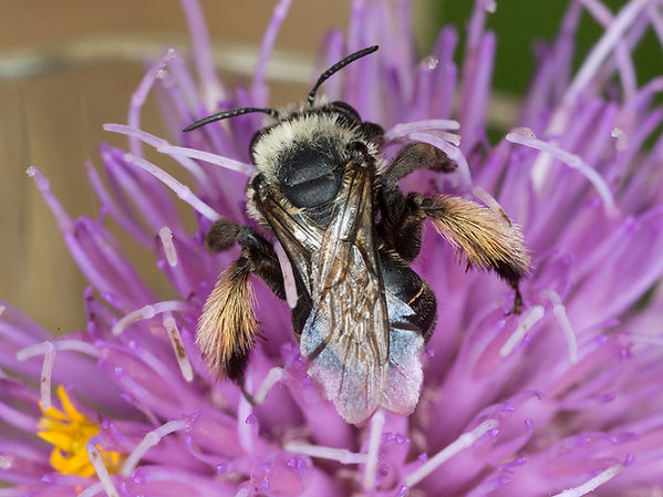 Thistle Long-horned Bee - Melissodes desponsa - (c) Copyright 2016 Sharp / Eatman Photo