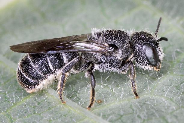 Heriades leavitti / variolosa Resin Bee - (c) 2017 Sharp-Eatman Photo