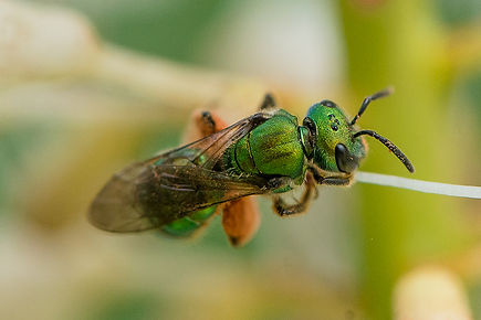 Augochlora pura - green metallic sweat bee -(c) Copyright 2015 Sharp-Eatman Photo