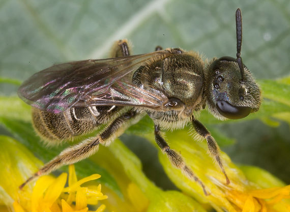 Lasioglossum (Dialictus) Sweat Bee - (c) 2015 Sharp-Eatman Photo