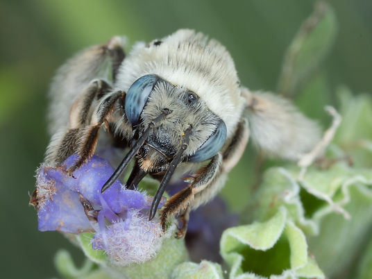 Melissodes tristis long-horned bee - (c) Copyright 2019 Paula Sharp