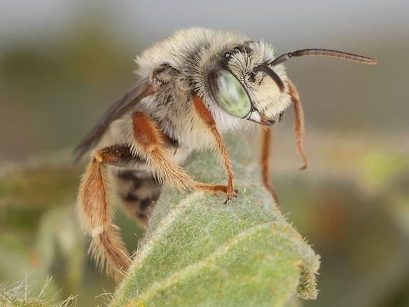 Diadasia tropicalis bee - (c) Copyright 2019 Paula Sharp