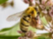 Confusing Bumble Bee - Bombus perlexus - (c) Copyright 2015 Sharp-Eatman Nature Photo