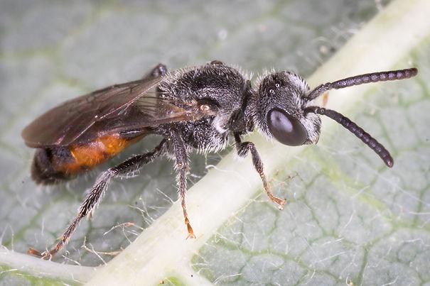 Sphecodes mandibularis Cuckoo Bee  (male)  (c) Copy 2017 Eatman Photo