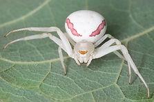 White-banded Crab Spider - (c) Copyright 2017 Paula Sharp