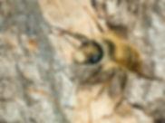 Hornfaced Bee - Osmia cornifrons Mason Bee - c) Copyright 2016 Sharp-Eatman Photo