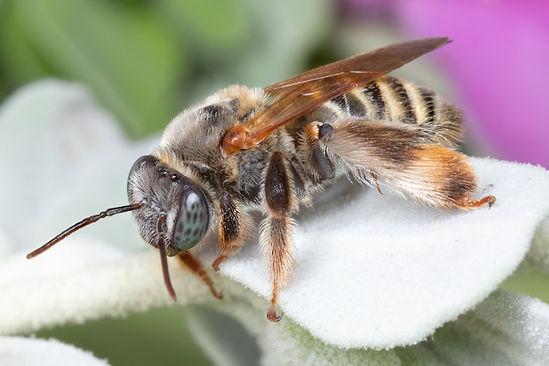 Exmalopsis mellipes bee - (c) Copyright 2019 Paula Sharp