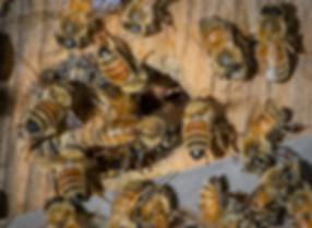 European honey bees entering an apiary hive - (c) Copyright 2018 Paula Sharp