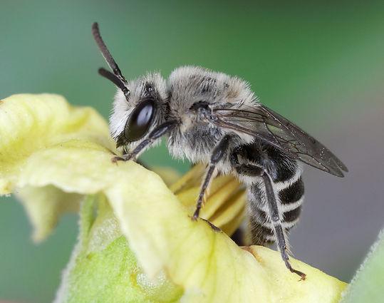 A male Colletes texanus (Texas cellophane bee) - (Copyright Paula Sharp 2020)