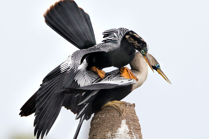 Anhingas Mating - Copyright (c) 2018 Paula Sharp.
