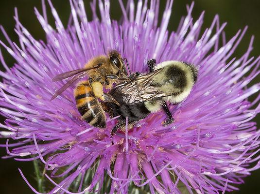 Honey bee robbing nectar from bumblebee