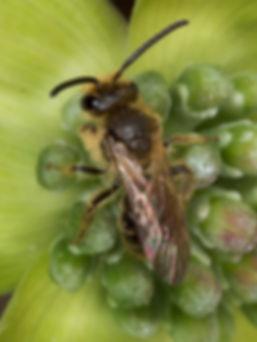 Andrena (Trachandrena) (c) Copyright 2017 Paula Sharp & Ross Eatman
