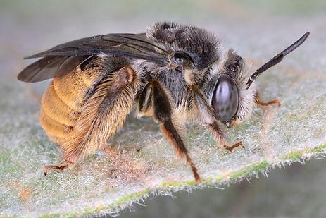 A female Melissoptila otomita long-horned bee; (c) Copyrght 2018 Paula Sharp