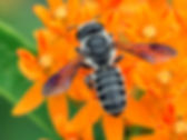 A frugal leafcutter bee (Megachile frugalis) (c) 2016 Sharp-Eatman photo