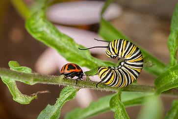 Monarch Caterpillar Battling Swump Milkweed Leaf Beetle - (c) 2016 Sharp-Eatman Nature Photography