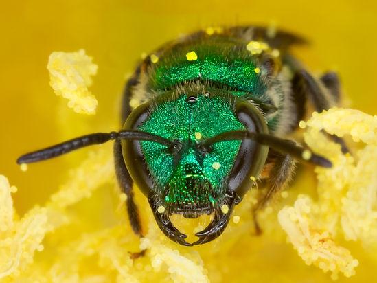 Aztec sweat bee - Augochlora azteca - (c) Copyright 2019 Paula Sharp
