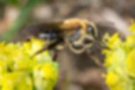 Neighborly Mining Bee - Andrena vicina - (c) 2016 Paula Sharp & Ross Eatman